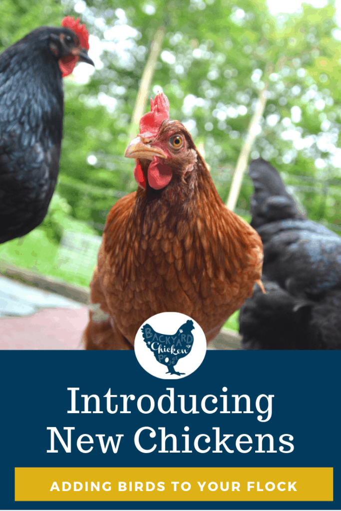 Introducing new chickens to your established flock can be stressful for everyone, even you! Learn how to introduce chickens step by step to cut down on fights and stress.  #chickens #backyardchickens #keepingchickens #raisingchickens