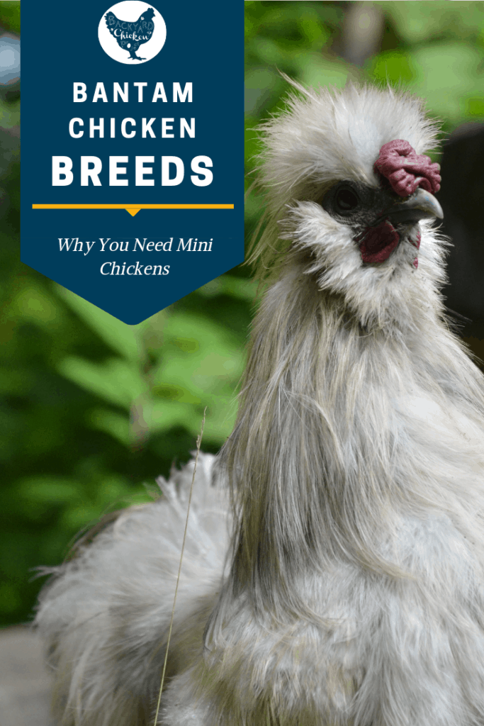 Bantam breeds are all the rage! And why wouldn't they be? Miniature chickens are cute, cost efficient, and perfect for small yards! #chicken #breed #backyardchickens #bantamchickens #bantams #chickenbreeds #poultry