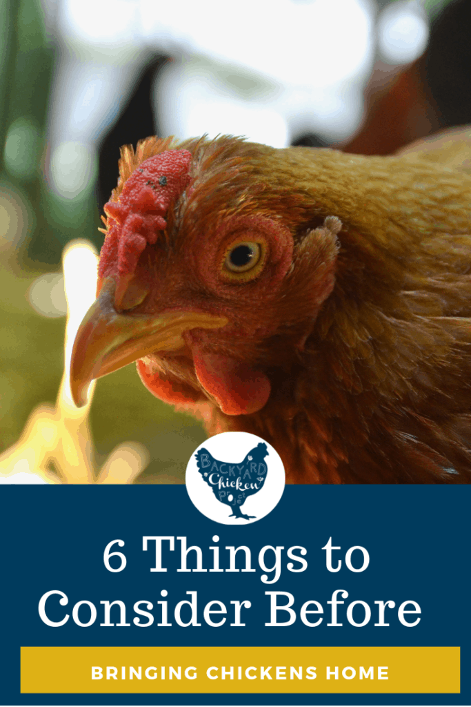 Six Things to Consider Before Bringing Chickens Home #homesteading #homestead #backyardchickens #chickens #raisingchickens #poultry