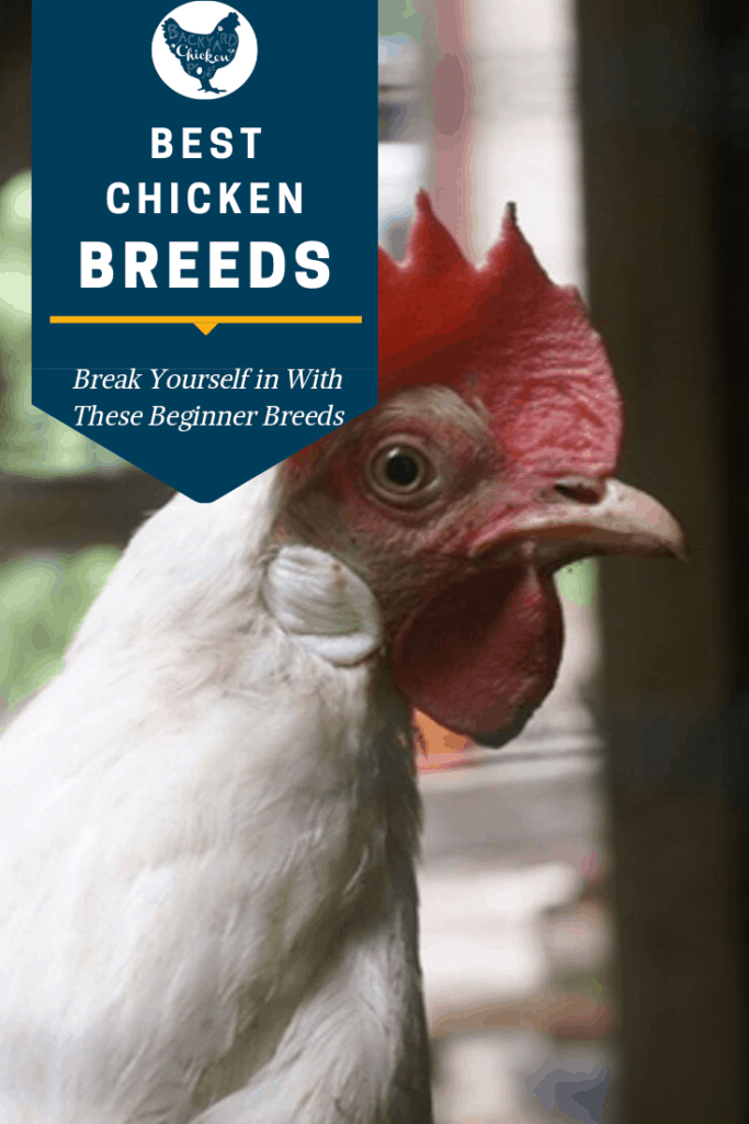 Are you a newbie chickenista? We've got a list of the 10 best chicken breeds for beginners! #homesteading #homestead #backyardchickens #chickens #raisingchickens #poultry