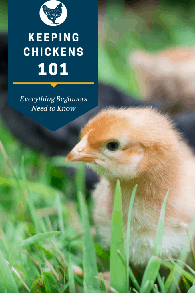 There's a lot of information out there about raising chickens, but that much info. can be overwhelming! We make it easy for you to pick up the basics, with raising chickens for beginners. #homesteading #homestead #backyardchickens #chickens #raisingchickens #poultry
