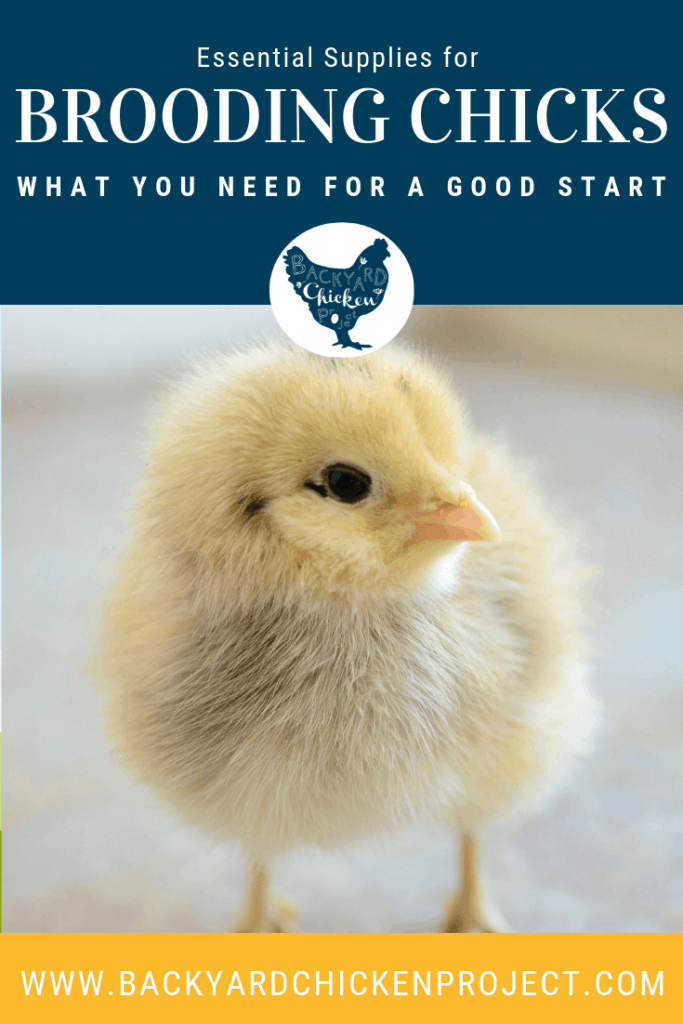 Brooding chicks doesn't need to be expensive or difficult. These 5 essential supplies are cheap, easy to find, and quick to set up! #homesteading #homestead #backyardchickens #chickens #raisingchickens #poultry