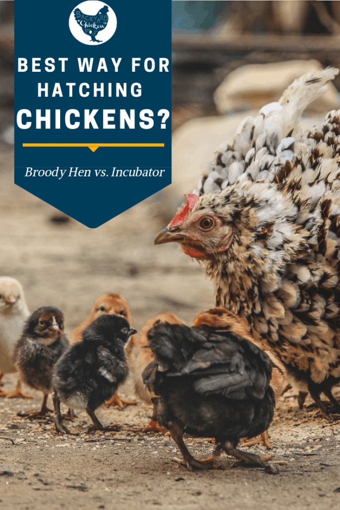 When you're hatching eggs you have one very important decision to make. Should you use a broody hen or an incubator? Our guide will help you decide! #homesteading #homestead #backyardchickens #chickens #raisingchickens #poultry