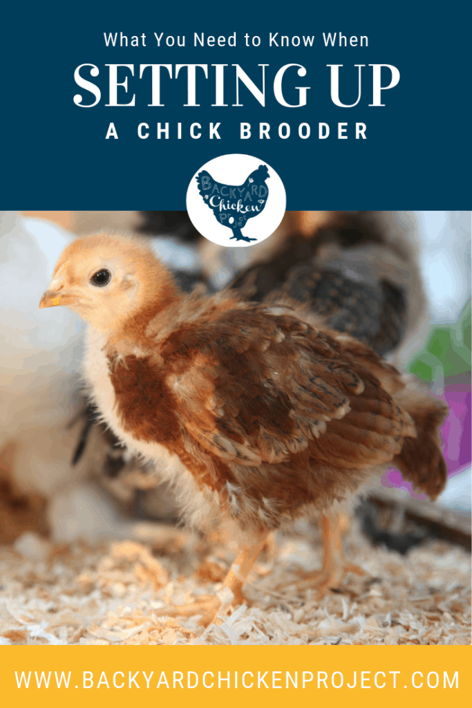While there are many different ways to set up a chick brooder, there are definite guidelines to follow for the health and safety of your chicks. #homesteading #homestead #backyardchickens #chickens #raisingchickens #poultry