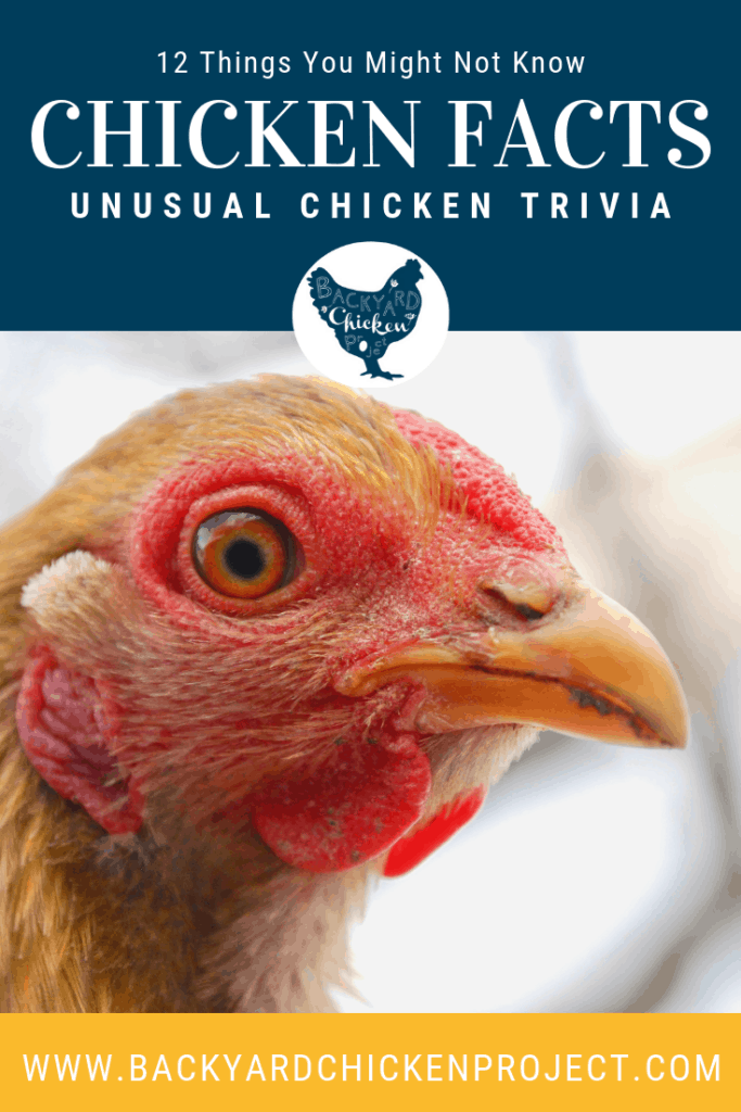 Do you know how many different sounds a chicken can make, or what determines their egg color? Find out the answers to these and more in our 12 little known facts about chickens post! #homesteading #homestead #backyardchickens #chickens #raisingchickens #poultry