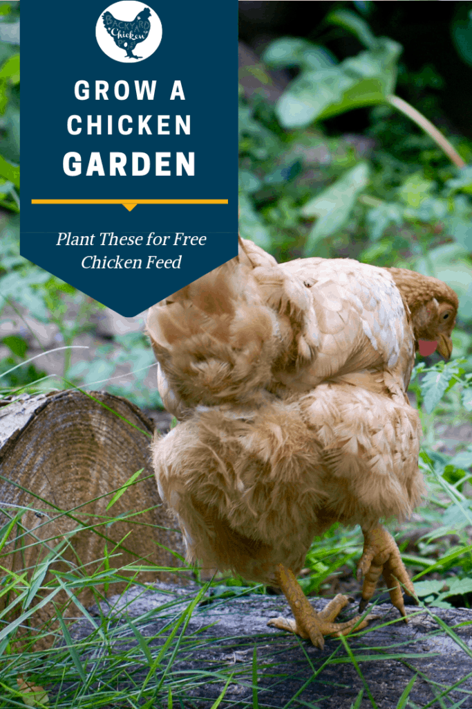 Tired of paying so much money to feed your chickens? Plant a chicken garden and feed them for free instead! #homesteading #homestead #backyardchickens #chickens #raisingchickens #poultry #gardentips