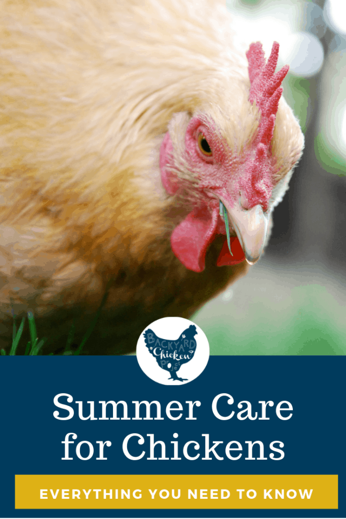 There are a few things you need to know about summer chicken care for your flock to keep them healthy and clucking happily. #homesteading #homestead #backyardchickens #chickens #raisingchickens #poultry