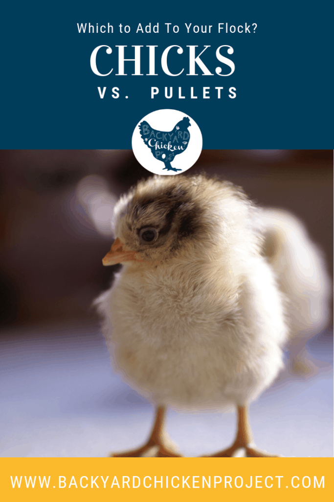 When expanding your existing flock the big question is always chicks or pullets? Each comes with it's own benefits and drawbacks, but this post is sure to help you decide! #homesteading #homestead #backyardchickens #chickens #raisingchickens #poultry