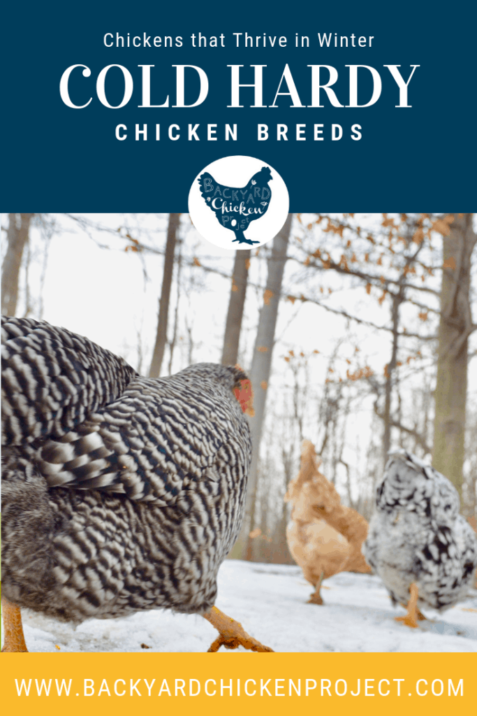 If you live in a cold climate, you're going to need some cold hardy chicken breeds to add to your flock! #chickens #breeds #chickenbreeds #winter #coldhardy #livestock #homesteading #selfsufficiency