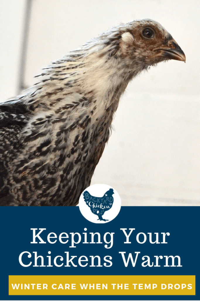 Are your chickens cold? How cold is too cold for backyard chickens? Find out! #homesteading #homestead #backyardchickens #chickens #raisingchickens #poultry
