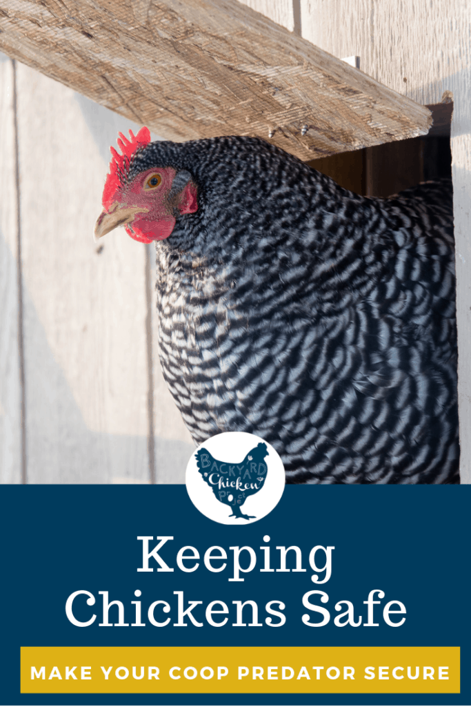 Whether you have a safe chicken coop is a top concern for chicken owners. Learn to protect backyard chickens from one of their biggest threats...Predators.