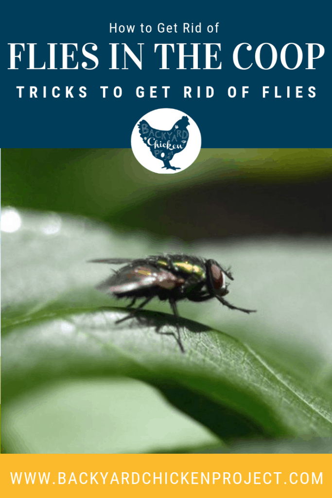 Flies can be a major problem when you have livestock in your backyard. We found several ways to get rid of the pests for good! #chickens #backyardchickens #keepingchickens #raisingchickens #homesteading #r#farmlife #homesteadingit #lifeouthere #homestead #simpleliving #backyardfarm #homesteading #nothingisordinary #instagood #farmlifebestlife #farmlove #farmliving #familyfarm #homesteadlife #consciousliving #selfreliant #farmscene #homestead #homesteading #farm #farming #farms #farmpictures  #smallfarm #farmphotos #sustainableliving #foodmatters  #flies #flycontrol