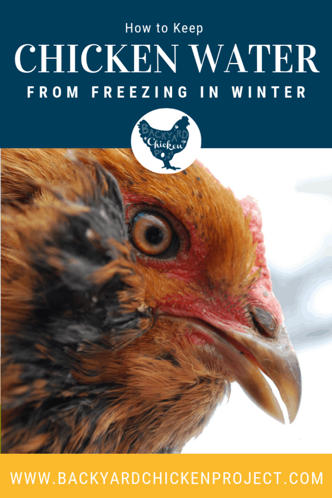 One of the biggest challenges with raising chickens in the winter is how to keep chicken water from freezing. Learn our tips to manage frozen water (even without a heated chicken waterer!) #homesteading #homestead #backyardchickens #chickens #raisingchickens #poultry