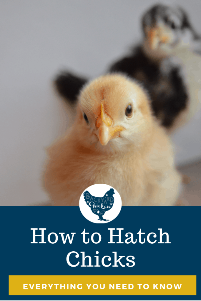 Everything you need to know to hatch your own chicks! #homesteading #homestead #backyardchickens #chickens #raisingchickens #poultry