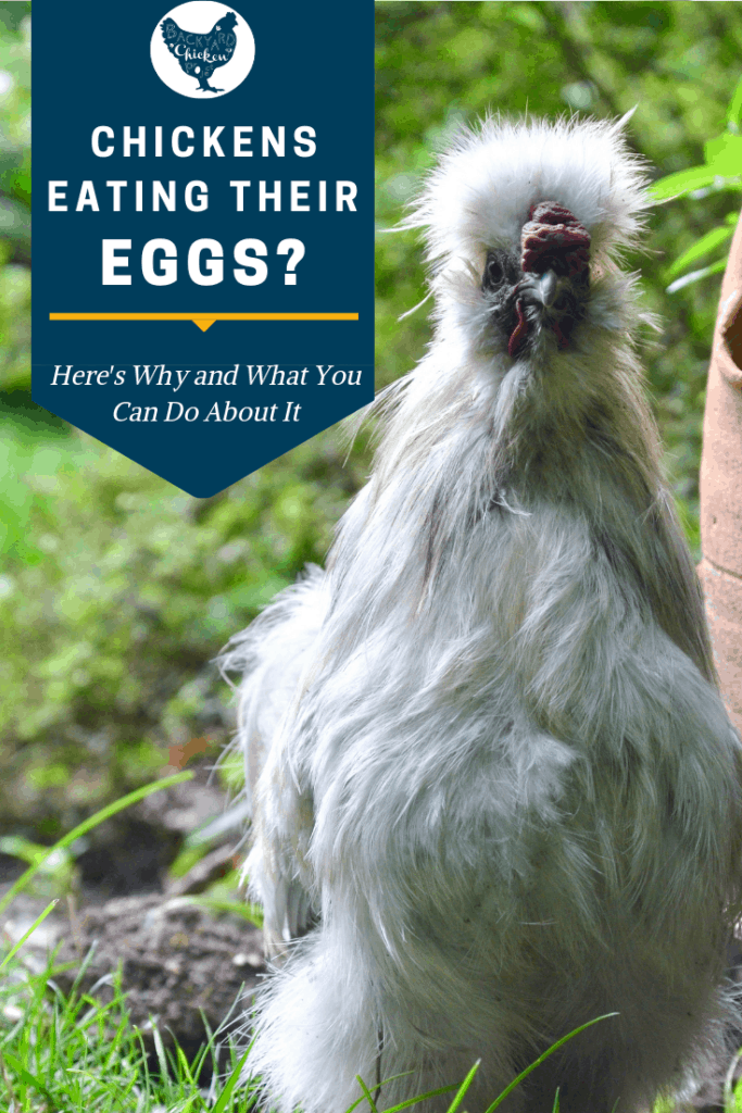 When chickens are eating eggs it can be extremely difficult to stop. The first step is understanding why.  #homesteading #homestead #backyardchickens #chickens #raisingchickens #poultry #homesteading #homestead
