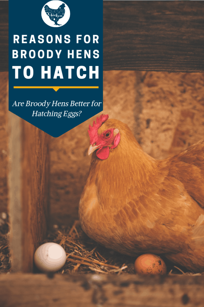 When your broody hen is stubbornly sitting on the nest, you should consider letting her hatch, here's why! #homesteading #homestead #backyardchickens #chickens #raisingchickens #poultry