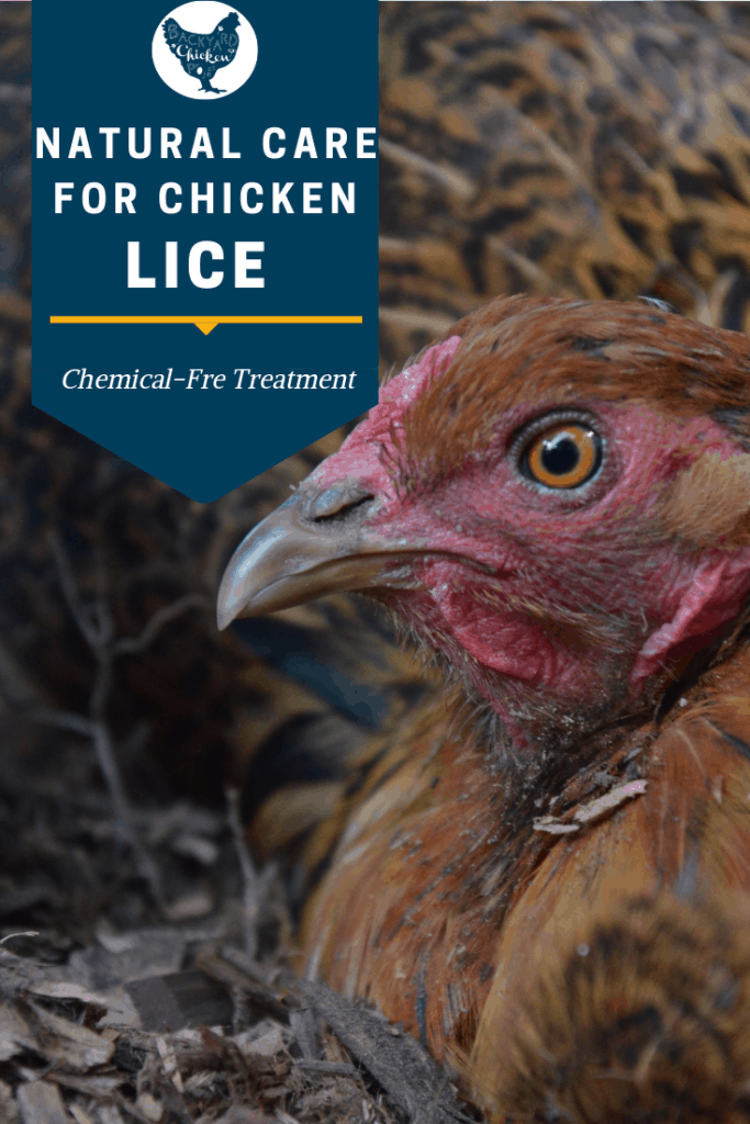 So, your chickens are riddled with lice? Before you reach for the pesticide, try out our natural chicken lice treatment! #homesteading #homestead #backyardchickens #chickens #raisingchickens #poultry