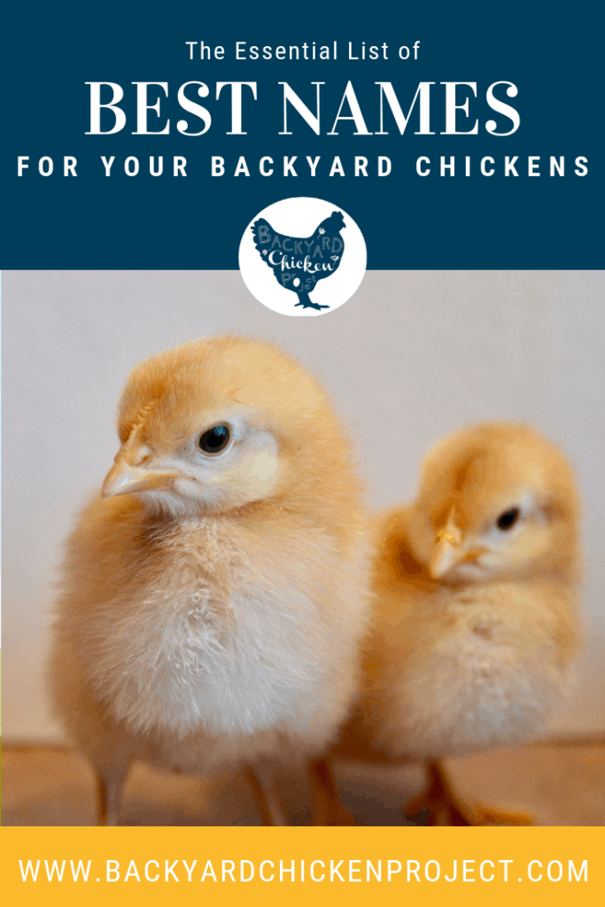 So, you brought home your new little flock members and now you need to name them. Our list of chicken names is bound to give you some ideas! #chickennames #petnames #chickens #backyardchickens #keepingchickens #raisingchickens