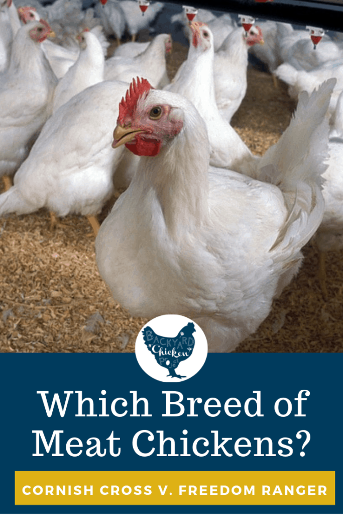 Which meat breed is right for you and your homestead? This post takes a look at the pros and cons of raising the cornish cross. #chickens #breeds #meatchickens #broilers #homesteading #selfsufficiency