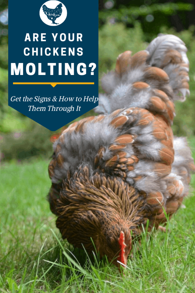 Are your Chickens Molting? How to tell and how to help! #homesteading #homestead #backyardchickens #chickens #raisingchickens #poultry