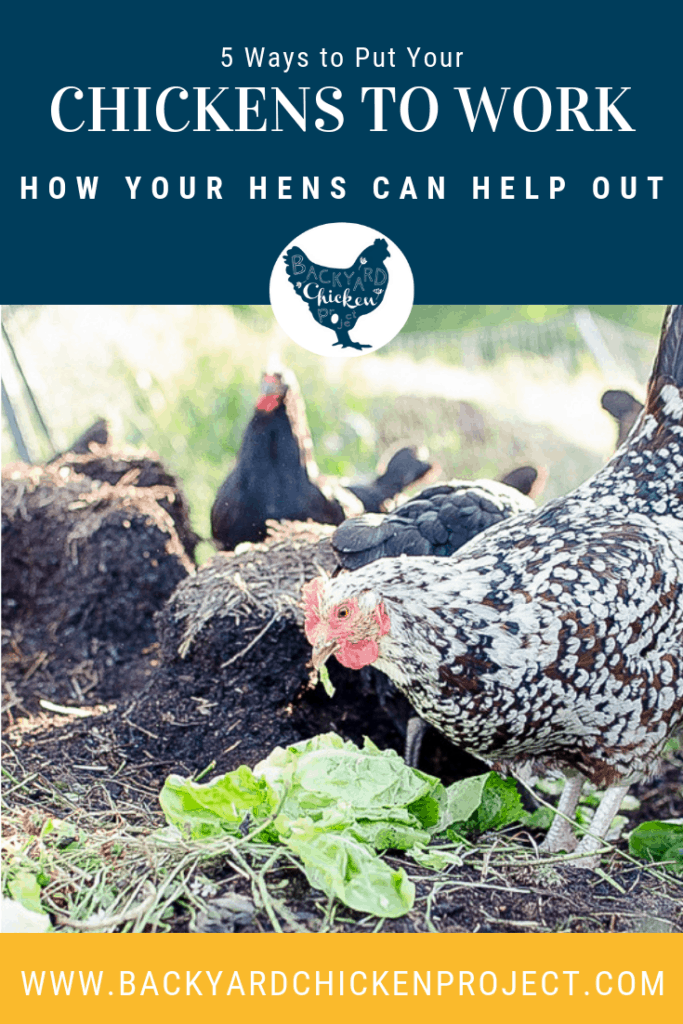 Hens are great for laying eggs for your morning omelets, but what else can they do? Surprisingly, there is a lot of work chickens can do to help out your homestead. #homesteading #homestead #backyardchickens #chickens #raisingchickens #poultry