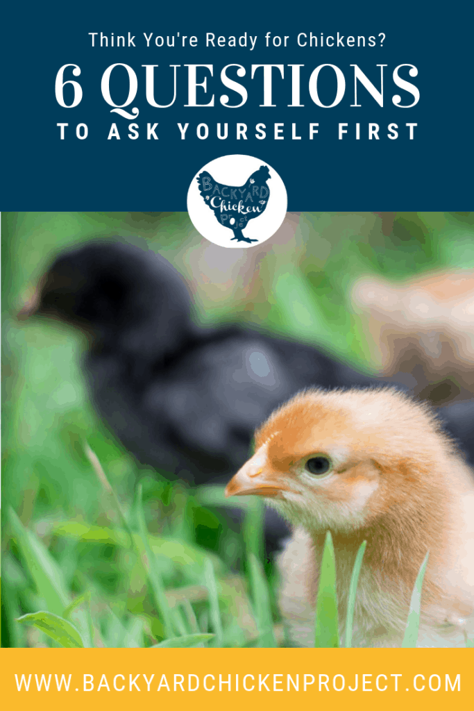 Are you truly ready to get chickens? Find out for sure by asking yourself these six questions before getting chickens. #homesteading #homestead #backyardchickens #chickens #raisingchickens #poultry