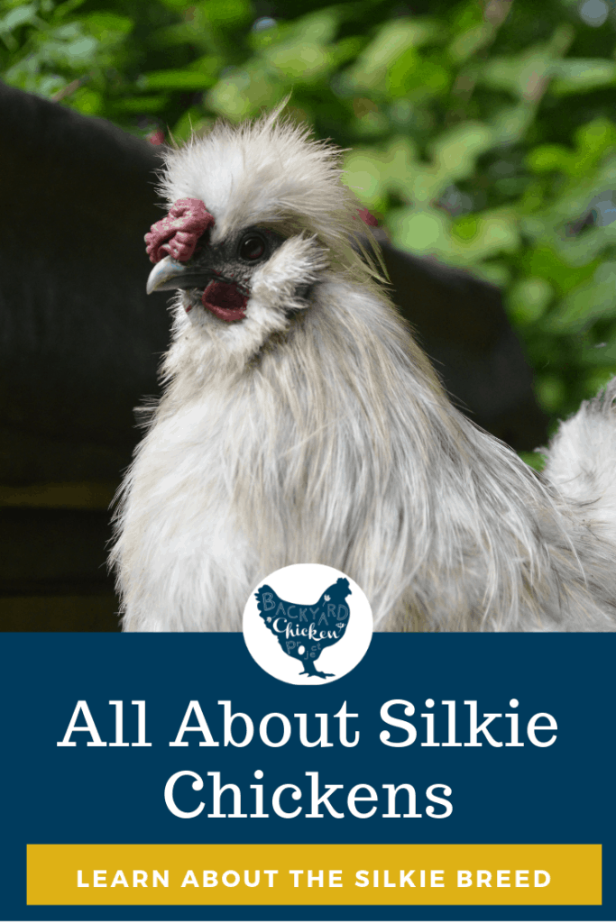 The Silkiechicken is one of the most popular chicken breeds. With their bizarre features and loving personalities, they're a favorite in backyard flocks everywhere. #chicken #breed #backyardchickens #silkiechicken #chickenbreeds #poultry