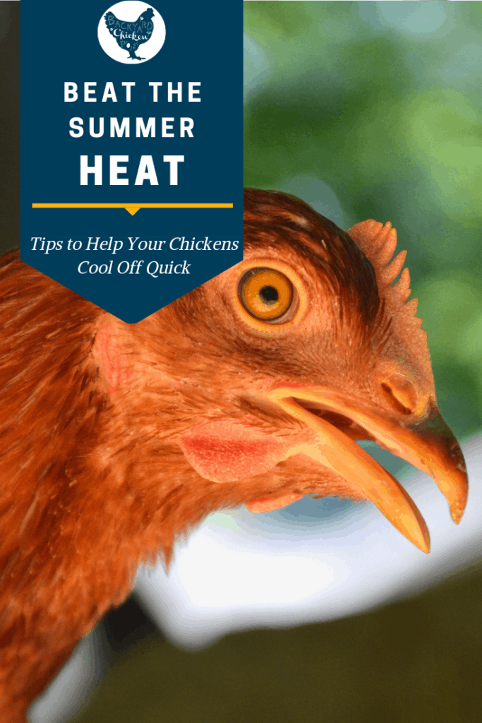 Are your chickens suffering from the heat? How can you tell? How do you keep chickens cool in the summer? We've got it all answered in this cool and breezy post. #homesteading #homestead #backyardchickens #chickens #raisingchickens #poultry