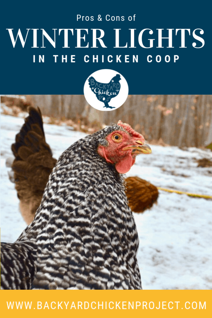 Should you add supplemental light in your winter chicken coop? Find out the pros and cons. #homesteading #homestead #backyardchickens #chickens #raisingchickens #poultry