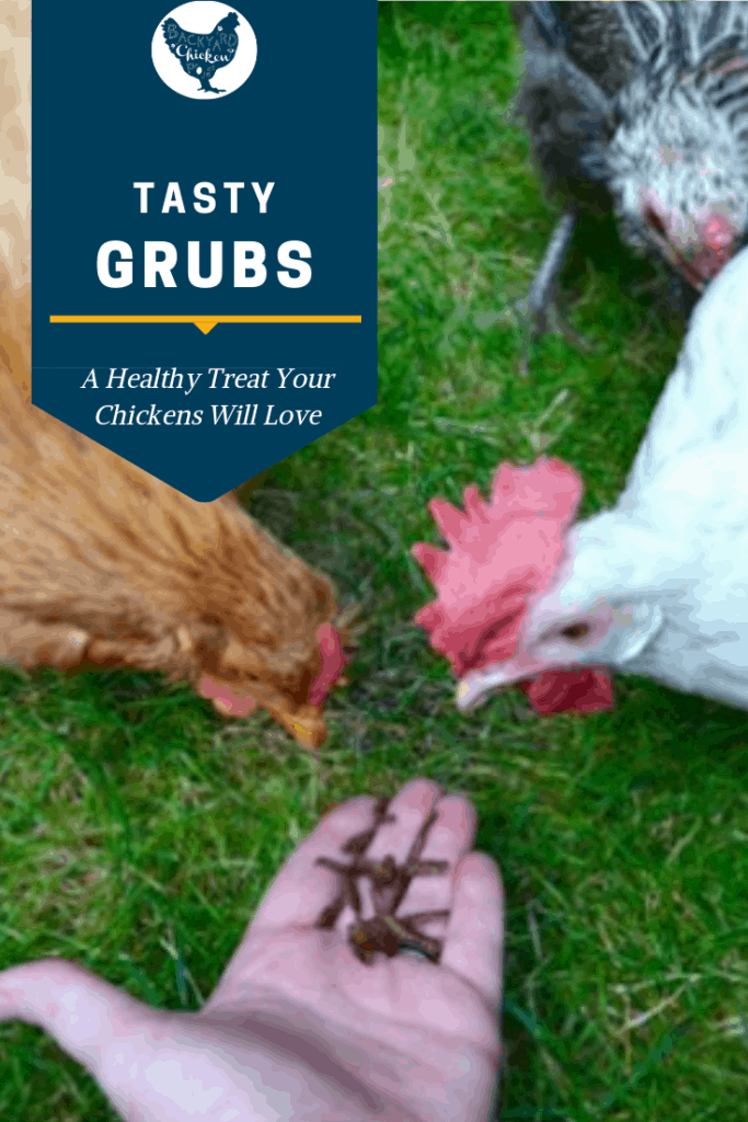 Our hens love tasty grubs so much they eat them right out of our hand! #homesteading #homestead #backyardchickens #chickens #raisingchickens #poultry