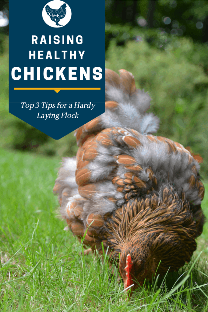There are some secrets to keeping your flock healthy and in tip top shape. Read our three tips for a healthy chickens! #homesteading #homestead #backyardchickens #chickens #raisingchickens #poultry