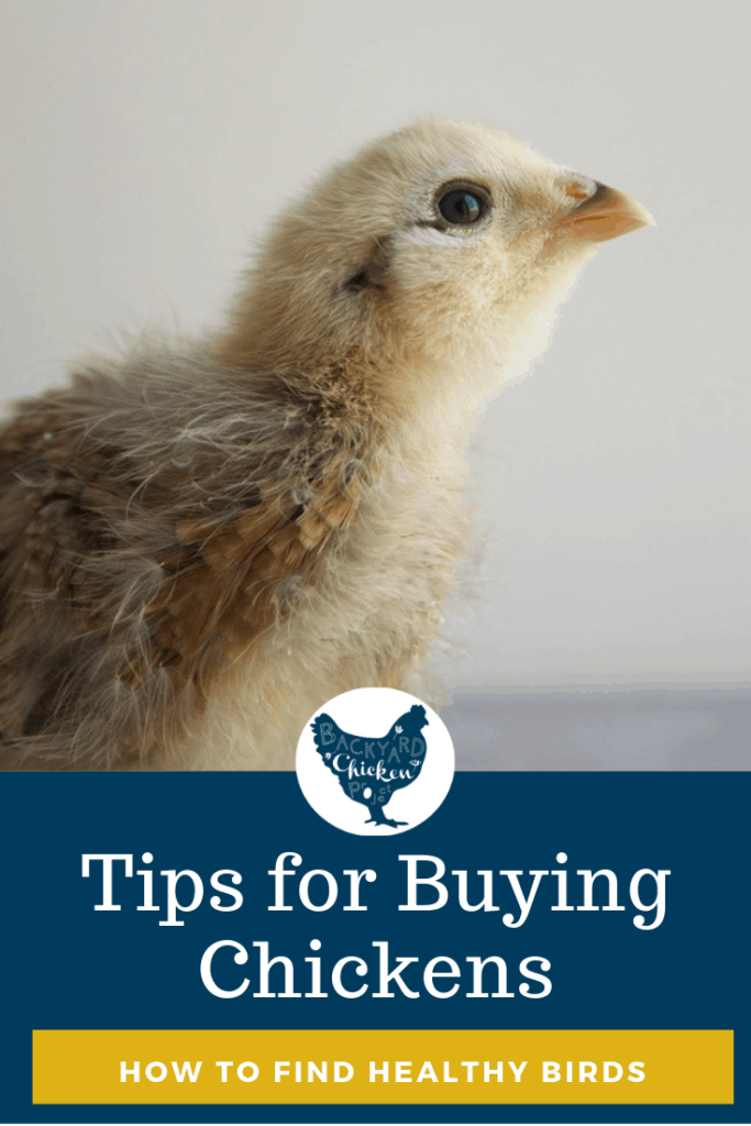 There's a lot to know before you buy chickens for the first time. Check out our guide to ensure you buy healthy chickens every time! #homesteading #homestead #backyardchickens #chickens #raisingchickens #poultry