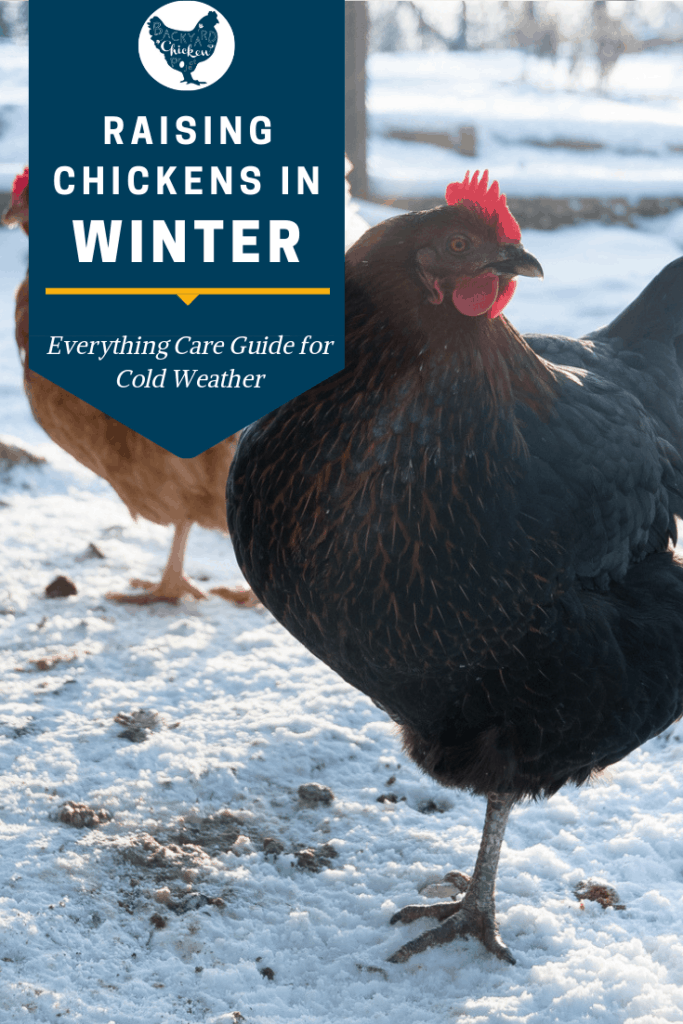 Taking care of chickens in the winter can be a challenge, follow our best tips and you and your chickens will be just fine! #chickens #backyardchickens #keepingchickens #raisingchickens #homesteading #homestead
