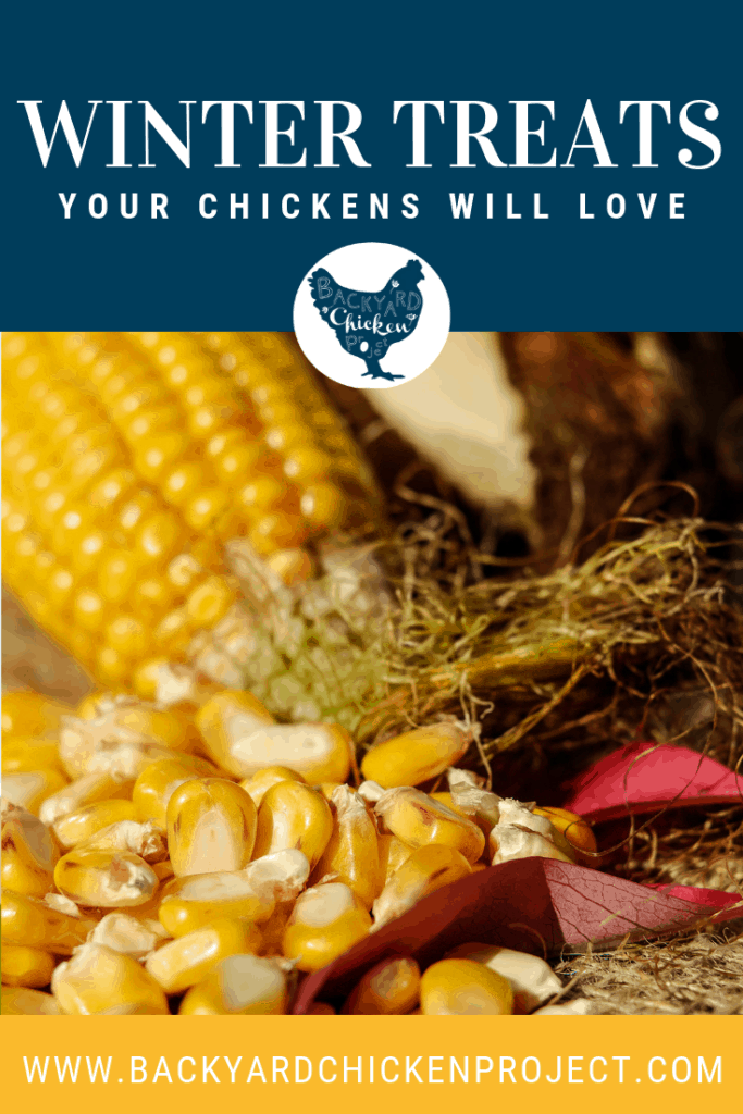 Cold weather can be tough on your flock, make it easier with these hearty winter foods for chickens! #homesteading #homestead #backyardchickens #chickens #raisingchickens #poultry