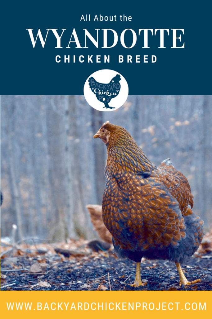 This post is all about those big ol' fluffy butts, the Wyandotte breed! These beautiful birds have a lot to offer! #chickens #breed #wyandotte #chickenbreeds #poultry #homesteading