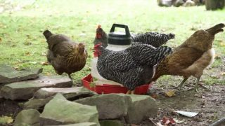 Building the chicken coop in a shady spot has tons of great benefits for your flock