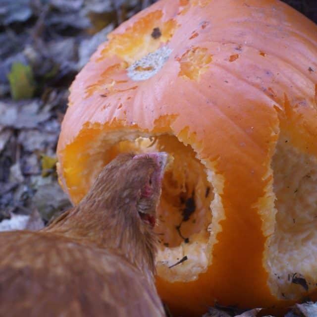 Boredom Busters: A Dozen Ways to Entertain Your Chicken Flock