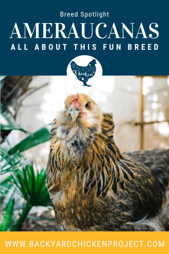 Would you like to have an adorable chicken with a fluffy beard that lays blue eggs? The Ameraucana might just be right for you! #homesteading #homestead #backyardchickens #chickens #raisingchickens #poultry
