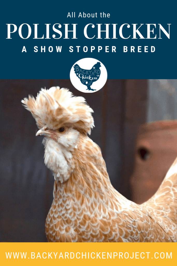 Thinking about getting a Polish chicken? Don't miss our overview of this funky breed! #homesteading #homestead #backyardchickens #chickens #raisingchickens #poultry