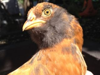 Would you like to have an adorable chicken with a fluffy beard that lays blue eggs? The Ameraucana might just be right for you!