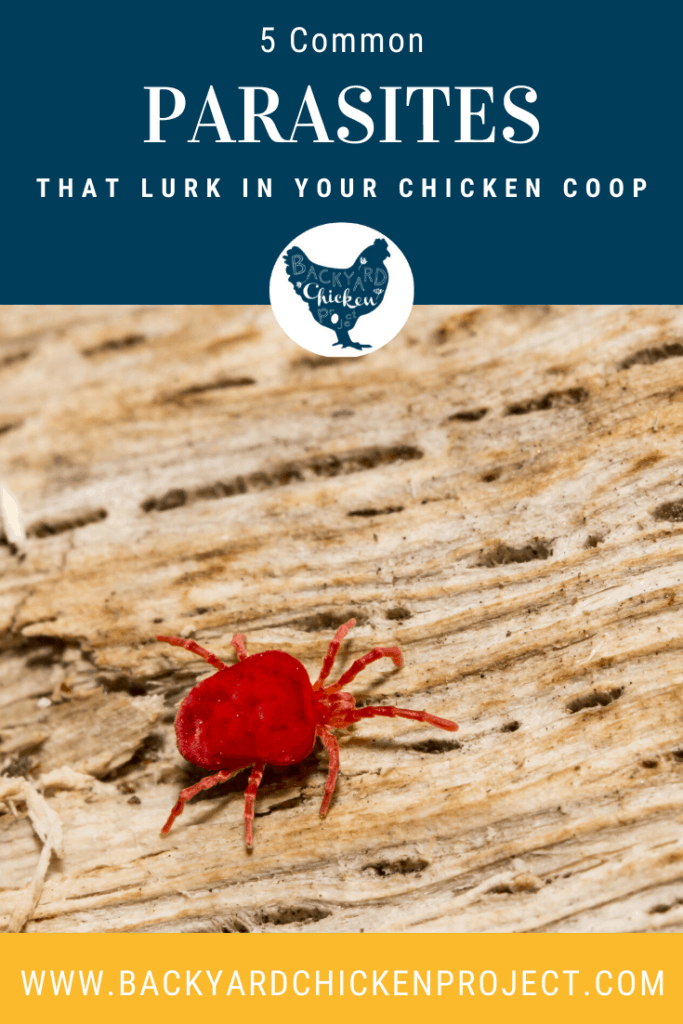 Nobody likes parasites, especially your chickens! Find out how to get rid of them! #chickenlice #chickenmites #poultrymites #scalylegmites