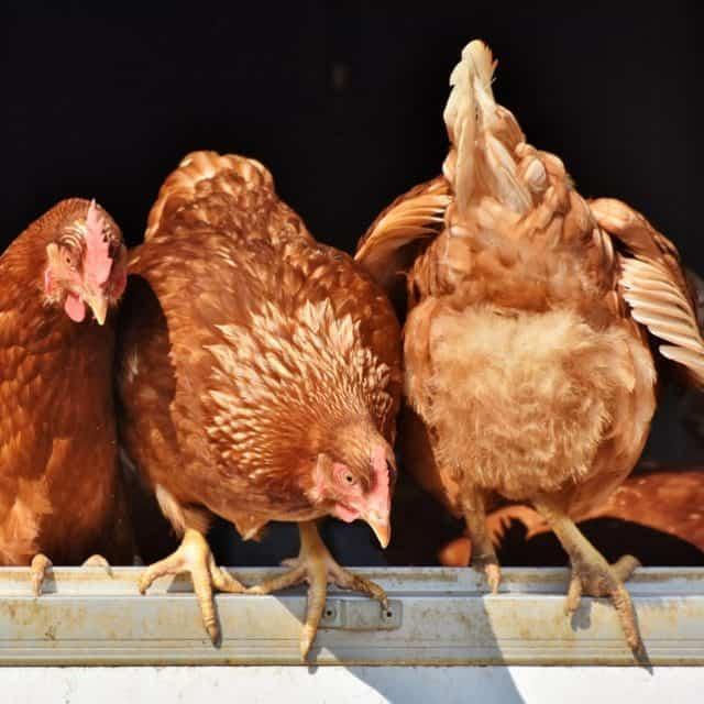 10 Free Urban Chicken Coop Plans