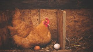 Egg Illnesses in chickens