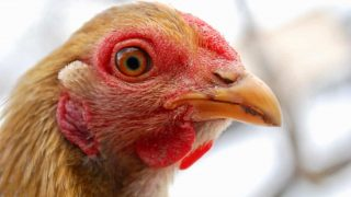 Supplements can really improve the health of your chicken flock, find out what they need!