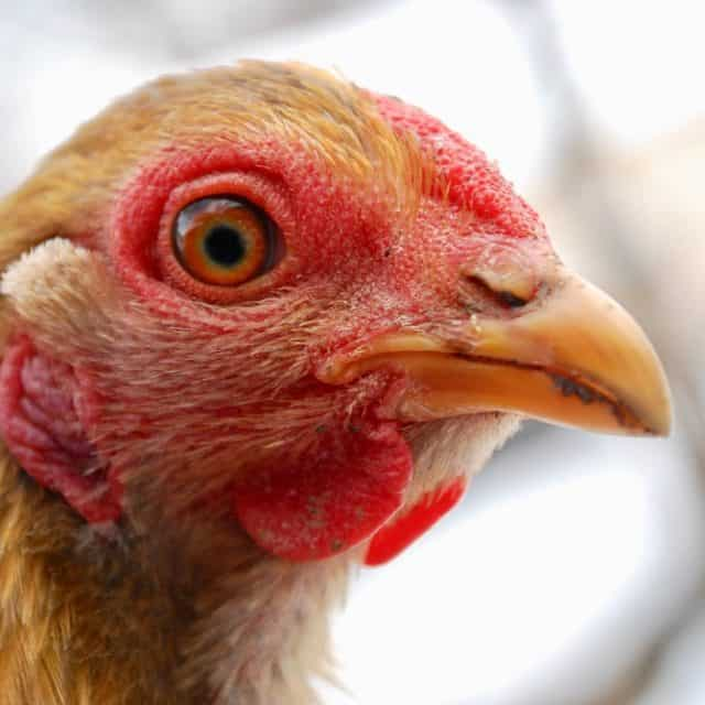 14 Chicken Supplements and How They Can Help!