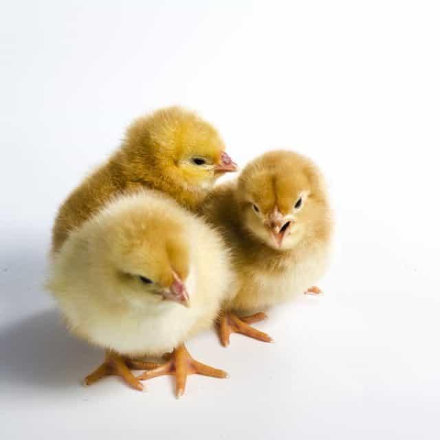Everything you Need to Start Raising Chicks