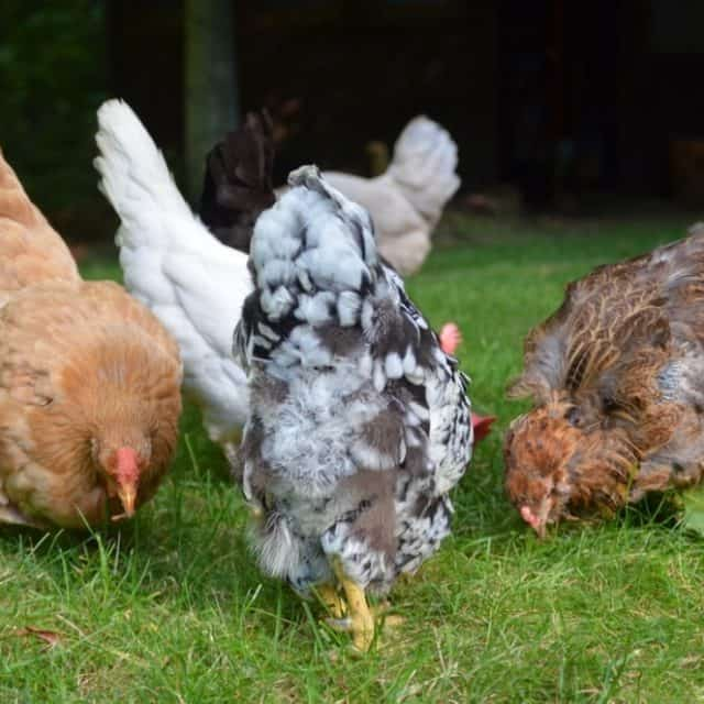 Free-Ranging your Urban Chickens