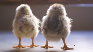 Want some funny chicken names for you flock? Find them all right here!