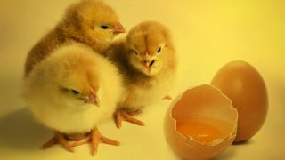 Everything you've ever wanted to know about chicken sex but were too afraid to ask