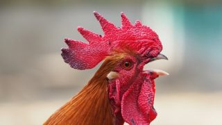 Did you mistakenly end up with a rooster? Don't worry, you have options!